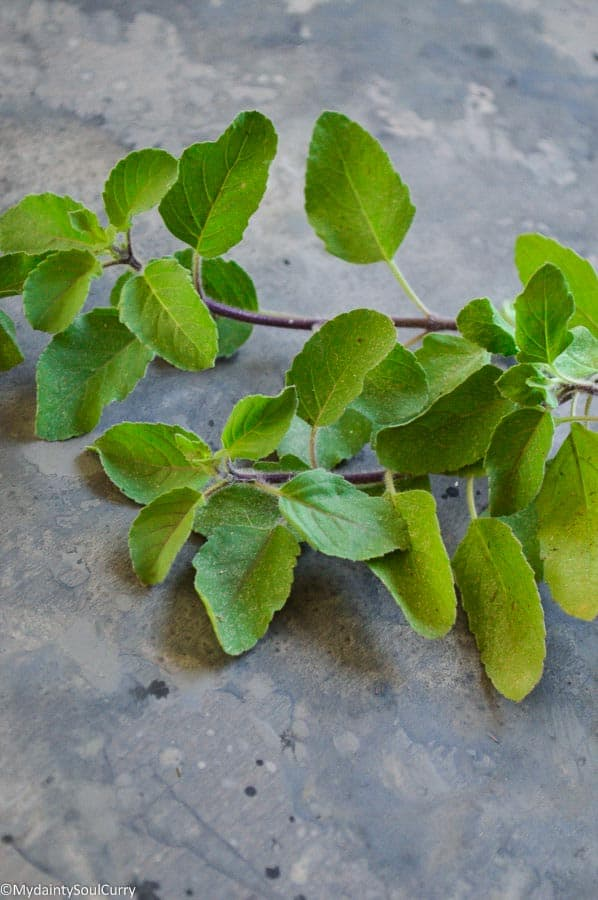 Sweet basil herb